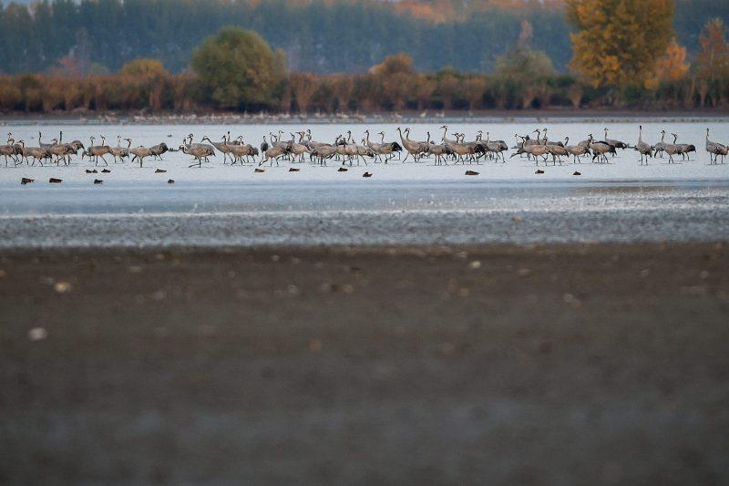 Hortobágy, 2013. október 21. Szürke darvak (Grus grus) az Elepi tóegység Felsõ-laposi taván 2013. október 18-án. Európa legnagyobb darugyülekezõ helyén, a Hortobágyi Nemzeti Park területén az október elejei adatok szerint közel 85.500 daru tartózkodik. Az Észak-Európából (zömmel Finnországból) szeptember második felében érkezõ madarak a komolyabb fagyok beköszöntéig maradnak, majd Szicílián, illetve a Boszporuszon keresztül jutnak el észak-afrikai, tunéziai és szudáni telelõ területeikre. MTI Fotó: Czeglédi Zsolt