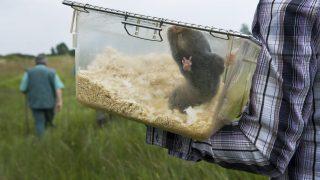 Baja, 2013. május 29. Hím földikutyát visznek dobozban szabadon engedése elõtt Baja határában 2013. május 29-én. Akár egy Magyarországon száz éve, másik ismert élõhelyén, Szerbiában pedig az 1960-as évek óta kihaltnak vélt földikutyafaj egyedei is lehetnek azok a korábban tudományos célból vizsgált ritka emlõsök, amelyeket befogásuk helyén engedtek szabadon a Kiskunsági Nemzeti Park munkatársai. MTI Fotó: Ujvári Sándor