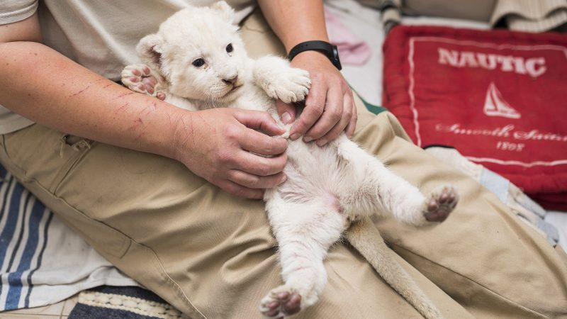Nyíregyháza, 2016. szeptember 28. Herlicska Anikó állatgondozó masszíroz egy öthetes nõstény fehér dél-afrikai oroszlánt (Panthera leo krugeri) szolgálati lakásában, a Nyíregyházi Állatparkban 2016. szeptember 27-én. A kölyök háromhetes korában az anyaállat teje elapadt, ezért a gondozó vállalta át a ritka színváltozatú kisoroszlán nevelését. MTI Fotó: Balázs Attila