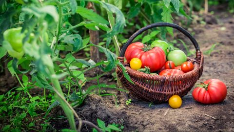 Healthy tomatoes on ground