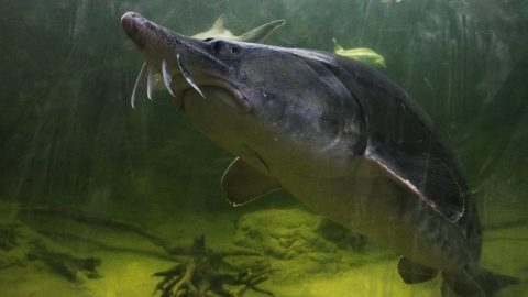 Poroszló, 2012. április 22. Viza (Huso huso) úszik a poroszlói Ökocentrum akváriumában. Az április 27-én nyíló, 2,2 milliárd forintból épült létesítményben végéhez közeleg Közép-Európa legnagyobb édesvízi akvárium-rendszerének betelepítése, amely a Tisza-völgy teljes halfaunáját mutatja majd be. Kontinensünkön az édesvizek legnagyobbjaként ismert, akár 500 kilósra is megnövõ halfaj hat darab, egyenként 60 kilogramm körüli egyede Bulgáriából érkezett.  MTI Fotó: Bugány János