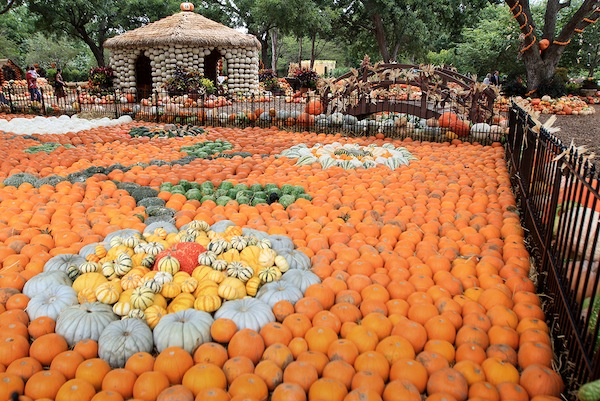 The Dallas Arboretum Kicks off Autumn at the Arboretum with a Pumpkin village filled with over 50,000 Pumpkins,Gourds and Squash. The village took workrs three weeks to complete .