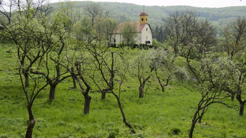Mónosbél, 2013. május 2.Almafák virágzanak a mónosbéli templom melletti almáskertben 2013. május 2-án. A szervita rend által a XVIII. században alapított gazdasági birtokot 2011-ben tisztíttatta ki az önkormányzat, a terület 28 őshonos gyümölcsfája ezután fordult újra termőre. A batulok, piros kálvilok, Entz rozmaringok, hercegnőalmafák, aranypármenek, sikulai és jonatán fajták az 1700-as években telepített kert harmadik-negyedik generációjának tagjai lehetnek.MTI Fotó: Komka Péter