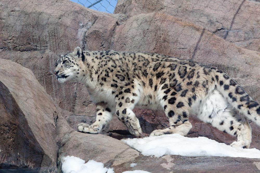 Snow Leopard at the Alaska Zoo.