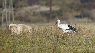Szécsény, 2016. november 15. A Január nevû fehér gólya (Ciconia ciconia) Szécsény határában 2016. november 15-én. A madár rendszeresen tölti a hideg hónapokat az Ipoly-völgyben, felbukkanását elõször 2014 januárjában jelezték a Magyar Madártani és Természetvédelmi Egyesületnek. Az egyesület munkatársai 2014 márciusában mûholdas jeladóval látták el a madarat. MTI Fotó: Komka Péter