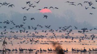 Zalavár, 2016. december 11.Vadludak repülnek napfelkeltekor a Kis-Balaton felett Zalavárnál 2016. december 11-én.MTI Fotó: Varga György