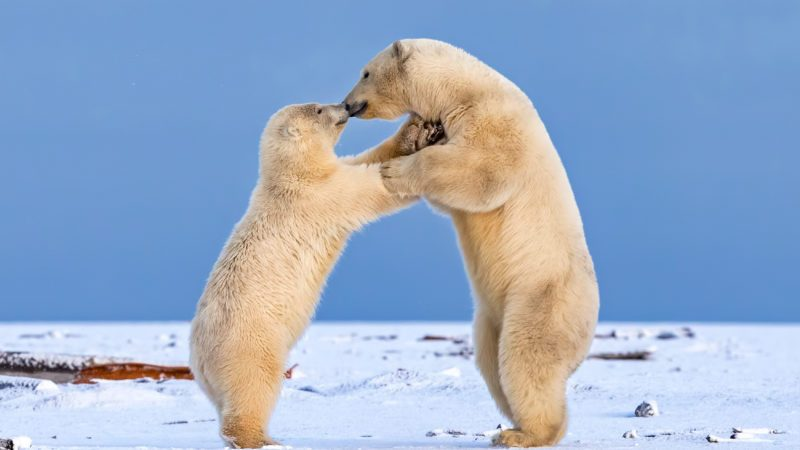 ***MANDITORY BYLINE - Shayne McGuire/Caters News*** - (PICTURED: Two juvenile polar bears look as if they are embracing each other whilst play fighting on Barter Island, Alaska.) - Shall we dance? These gorgeous baby polar bears shared a kiss as they danced in the snow. The cha-cha-charming pair were spotted practicing their salsa on Barter Island, Alaska, as they waited for dinner. Photographer Shayne McGuire watched in awe as they joined paws and mirrored each others moves. - SEE CATERS COPY