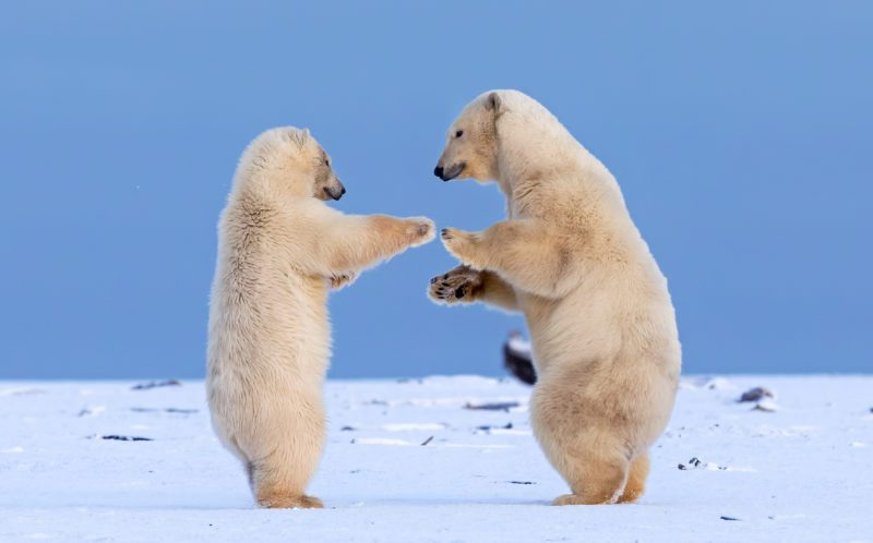 ***MANDITORY BYLINE - Shayne McGuire/Caters News*** - (PICTURED: Two juvenile polar bears play fight in the snow on Barter Island in Alaska. Whilst play fighting the also appear to be dancing together.) - Shall we dance? These gorgeous baby polar bears shared a kiss as they danced in the snow. The cha-cha-charming pair were spotted practicing their salsa on Barter Island, Alaska, as they waited for dinner. Photographer Shayne McGuire watched in awe as they joined paws and mirrored each others moves. - SEE CATERS COPY