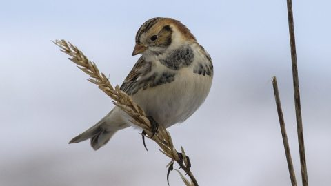 Lapland Bunting sitting on a branch and looking down winter cloudy day