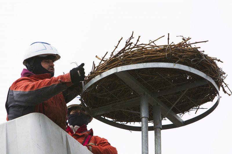 Semjénháza, 2017. február 16. Az áramszolgáltató szakembere mûfészket szerel fel egy villanyoszlopra Semjénházán 2017. február 16-án. Egy gólya már több éve a faluban telel, ezért az áramszolgáltató szakemberei a Magyar Madártani és Természetvédelmi Egyesület és a Balaton-felvidéki Nemzeti Park együttmûködésével ezen a napon egy mûfészket szereltek a fészekfoglalási idõszak elõtt egy villanyoszlopra. A gólyát a hidegebb napokon a helybéliek etetik. MTI Fotó: Varga György