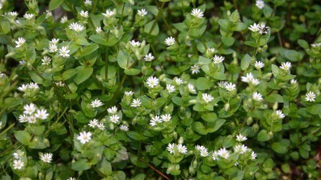 Ehető vadnövények – Tyúkhúr (Stellaria media) – szegfűféle