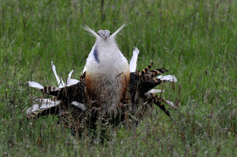 Rajka, 2014. május 2. Egy túzokkakas dürrög Dévaványa mellett, a Körös-Maros Nemzeti Park területén 2014. április 27-én. A túzok (Otis tarda) idén az év madara, amely hazánk és Európa legnagyobb termetû röpképes madara, és a pusztai táj szimbóluma. MTI Fotó: Kovács Attila
