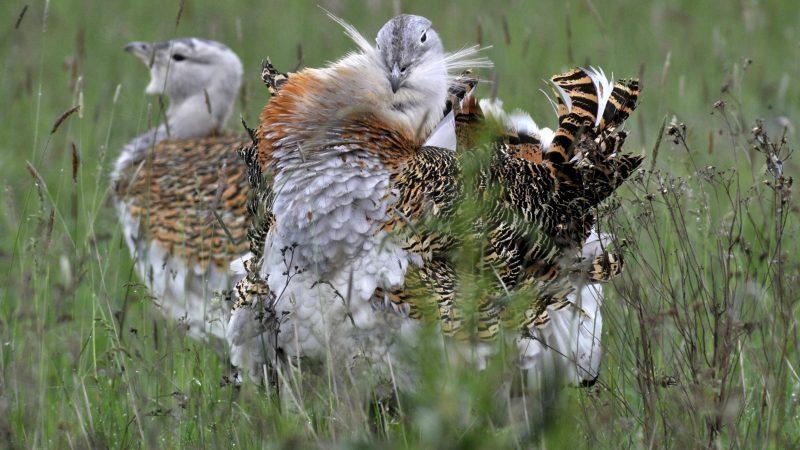 Dévaványa, 2014. április 27. Egy túzokkakas dürrög Dévaványa mellett, a Körös-Maros Nemzeti Park területén 2014. április 27-én. A túzok (Otis tarda) a 2014. év madara, hazánk és Európa legnagyobb termetû röpképes madara, a pusztai táj szimbóluma. MTI Fotó: Kovács Attila