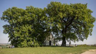 Bátaszék, 2016. április 21. A bátaszéki molyhos tölgyfa, amely 2016-os év európai fája lett, és a Szent Orbán kápolna Bátaszék közelében 2016. április 21-én. A Brüsszelben nyilvánosságra hozott eredmény szerint az idén februárban meghirdetett versenyen a legtöbb, 72 653 szavazatot a bátaszéki fa kapta. MTI Fotó: Sóki Tamás