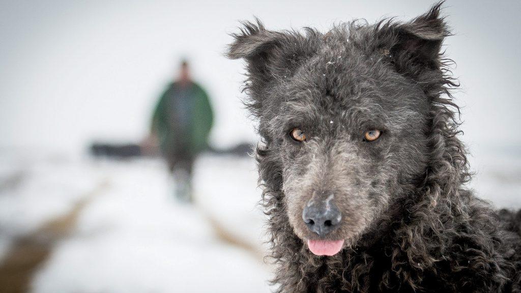 Fülöpszállás, 2017. január 25. Egy mudi pásztorkutya segíti a bivalycsorda áthajtását a szabadszállási Zab-székrõl a fülöpszállási Kígyós-háti állattartó telepre a Kiskunsági Nemzeti Park területén, Fülöpszállás közelében 2017. január 25-én. A 120 állatot a nyári legelõterületrõl hajtották be a téli szállásukra. MTI Fotó: Ujvári Sándor