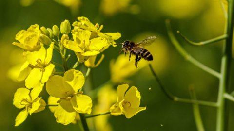 Cegléd, 2017. április 17. Házi méh egy virágzó káposztarepce közelében Ceglédnél 2017. április 17-én. MTI Fotó: Bugány János