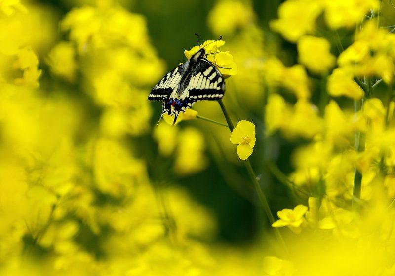 Cegléd, 2017. április 17. Védett fecskefarkú lepke (Papilio machaon) egy káposztarepce-virágon Cegléd közelében 2017. április 17-én. MTI Fotó: Bugány János