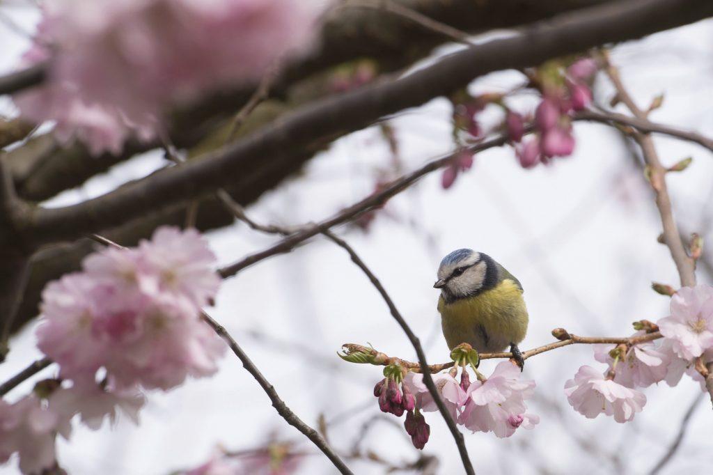 Drezda, 2017. március 22. Kék cinege egy drezdai park virágzó japán cseresznyefáján 2017. március 22-én. (MTI/AP/DPA/Sebastian Kahnert)