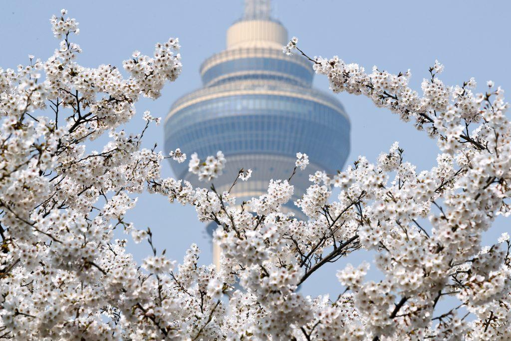 Peking, 2017. március 29. Virágba borult cseresznyefaágak a pekingi Jüjüantan Parkban 2017. március 29-én. A háttérben a Kínai Központi Televízió (CCTV) tornya. (MTI/AP/Andy Wong)