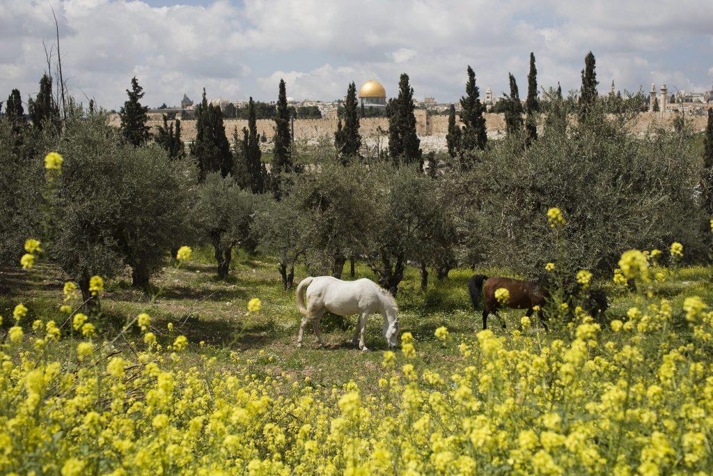 Jeruzsálem, 2017. április 3. Lovak legelnek egy virágzó mezõn, az Olajfák hegyén a háttérben a jeruzsálemi óváros Sziklamecsetének aranykupolája látható 2017. április 3-án. (MTI/EPA/Abir Szultan)