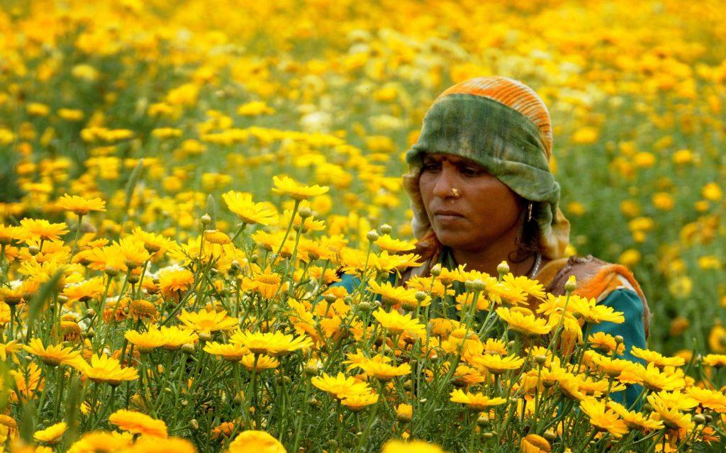 Amritszár, 2017. április 4. Körömvirágot szed egy dolgozó egy ültetvényen az észak-indiai Amritszár város szélén 2017. április 4-én. A gyógyhatásáról közismert növény virágait Indiában díszítésre is használják, illetve vallási szertartásokon felajánlják. (MTI/EPA/Raminder Pal Szingh)
