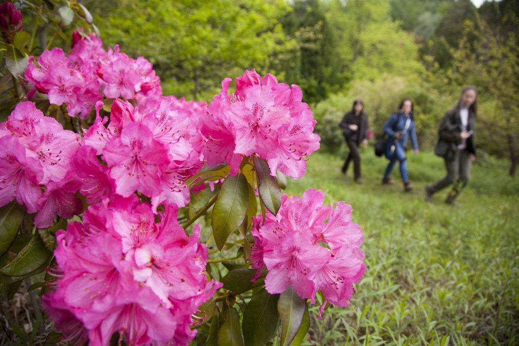 Kiscsehi, 2017. május 9. Virágzó rododendron a Budafapusztai Arborétumban 2017. május 9-én.  MTI Fotó: Varga György
