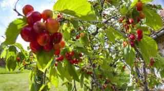 Tormafölde, 2017. május 4. Érik a cseresznye a Zala megyei Tormaföldén 2017. május 4-én. MTI Fotó: Varga György