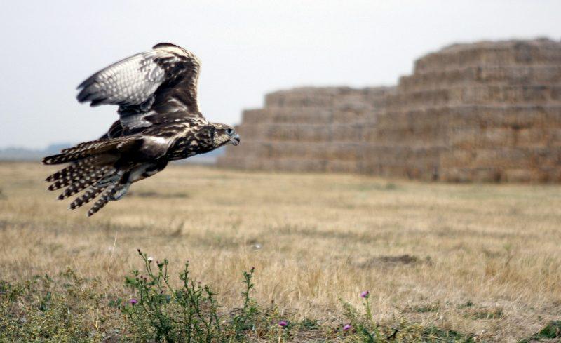 Körösladány, 2009. október 7. Kerecsensólyom (Falco cherrug) repül, miután szabadon engedték társával együtt Körösladány külterületén. A madarakat 2009. szeptember 25-én foglalták le a természetvédelmi õrszolgálat tagjai egy törökszentmiklósi lakostól. A kerecsensólymok fokozattan védett madarak, eszmei természetvédelmi értékük darabonként eléri az egymillió forintot. MTI Fotó: Lehoczky Péter