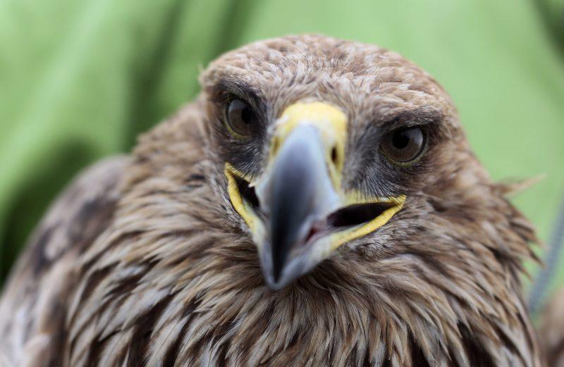 Szabadkígyós, 2014. december 17. Tokaj, a mérgezésbõl felgyógyult parlagi sas, amelyet mûholdas jeladóval szereltek fel, mielõtt szabadon engedték Szabadkígyós határában 2014. december 17-én. A madarat korábban meggyûrûzték a kutatók, így tudni lehet, hogy tavaly Tokaj térségében kelt ki a tojásból, ezért kapta a Tokaj nevet. MTI Fotó: Lehoczky Péter
