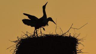 Balmazújváros, 2017. május 29. Fehér gólyák (Ciconia ciconia) naplementekor Balmazújvárosban 2017. május 29-én. MTI Fotó: Czeglédi Zsolt