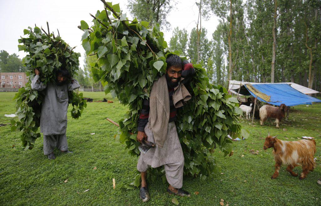 Szrinagar, 2017. május 17. A bakarval kasmíri nomád törzshöz tartozó férfiak a szarvasmarhák számára szedett zöld leveleket viszik hátukon Dzsammu és Kasmír indiai szövetségi állam nyári fõvárosa, Szrinagar közelében 2017. május 17-én. A Himalája és a Pir Pandzsal-hegység közti területen õshonos pásztornép tagjai a téli hónapokban a melegebb, a tavaszi és nyári hónapokban a hûvösebb tájak felé vándorolnak. (MTI/EPA/Faruk Hán)