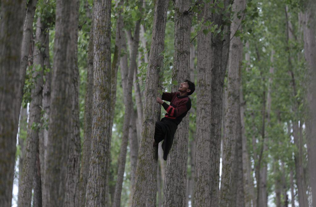 Szrinagar, 2017. május 17. A bakarval kasmíri nomád törzshöz tartozó fiatalok egyike nyárfára mászik Dzsammu és Kasmír indiai szövetségi állam nyári fõvárosa, Szrinagar közelében 2017. május 17-én. A Himalája és a Pir Pandzsal-hegység közti területen õshonos pásztornép tagjai a téli hónapokban a melegebb, a tavaszi és nyári hónapokban a hûvösebb tájak felé vándorolnak. (MTI/EPA/Faruk Hán)