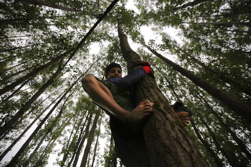 Szrinagar, 2017. május 17. A bakarval kasmíri nomád törzshöz tartozó fiatal fiúk egyike nyárfára mászik Dzsammu és Kasmír indiai szövetségi állam nyári fõvárosa, Szrinagar közelében 2017. május 17-én. A Himalája és a Pir Pandzsal-hegység közti területen õshonos pásztornép tagjai a téli hónapokban a melegebb, a tavaszi és nyári hónapokban a hûvösebb tájak felé vándorolnak. (MTI/EPA/Faruk Hán)