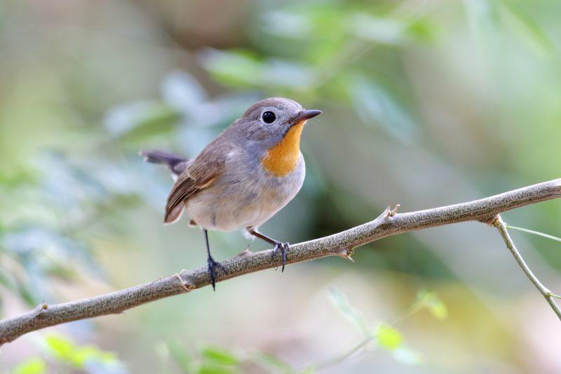 Taiga Flycatcher Ficedula parva Male Birds of Thailand