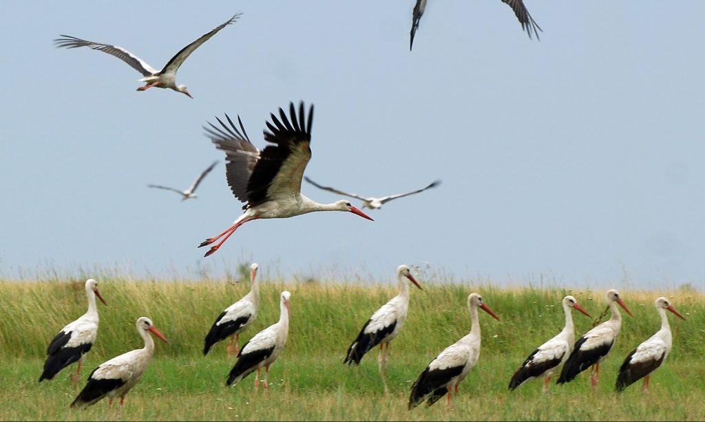 Hamarosan megkezdődik a gólyák látványgyűrűzése | Sokszínű vidék