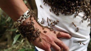 Ngam, 2017. június 1. A 2017. június 1-jén közreadott képen méhek gyülekeznek Bui Duy Nhat vietnami méhészen a Dien Bien tartománybeli Ngam településen május 26-án. A méhekkel 1993 óta foglalkozó 41 éves férfi húsz perc alatt akár egy egész méhcsaládot képes a saját testére telepíteni azáltal, hogy a kaptárból kiemelt méhkirálynõt a ruházatára teszi. Szárnyas rovarokkal borított testtel és arccal sétálni és beszélni is tud, és mindeközben füldugókon kívül más védõfelszerelést nem használ. (MTI/EPA/Pham Ngoc Thanh)