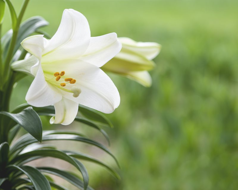 White lily flowers with green grass background