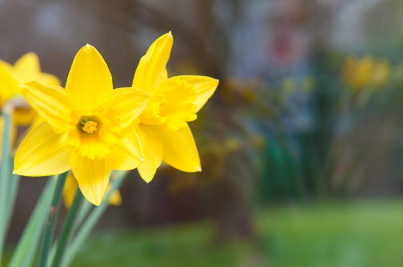 Seasonal yellow tulip flowers in the window