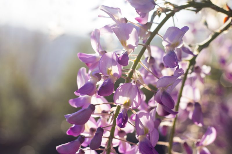Wisteria Flowers in the Sunset