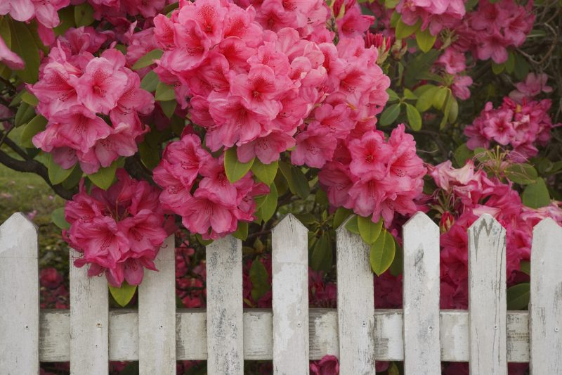Rhododendrons above a picket fence