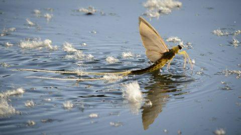 Tiszafüred, 2014. június 12.Egy tiszavirág (Polingenia longicauda) a Tisza tiszaörvényi szakaszán, Tiszafüred közelében 2014. június 11-én. A kérészek tömeges rajzása a meleg időt követően a napokban kezdődött el. Az egykor Európa szerte elterjedt faj ma már csak hazánkban, a Tiszában és mellékfolyóiban él. Eszmei, természetvédelmi értéke 10000 forint.MTI Fotó: Czeglédi Zsolt