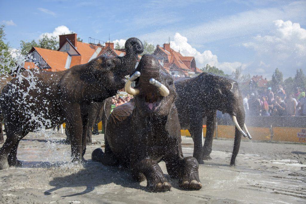 Balatonlelle, 2017. július 15. A Magyar Nemzeti Cirkusz elefántjait fürdetik a Cirkuszok éjszakája rendezvényen Balatonlellén 2017. július 15-én. MTI Fotó: Varga György
