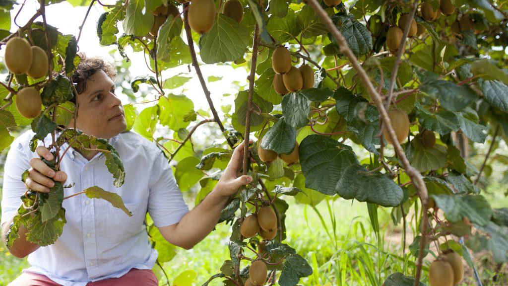Becsehely, 2017. július 28. Miklós Ákos Márton a termést nézi négyhektáros kiviültetvényén a Zala megyei Becsehely közelében 2017. július 28-án.  MTI Fotó: Varga György