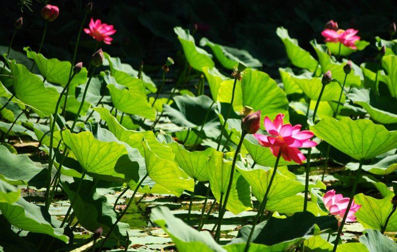 Szeged, 2009. július 20. Virágzik az indiai lótusz a Szegedi Tudományegyetem Füvészkertjében, ahol a növény Közép-Európában legnagyobb szabad területen található állománya él. A hatalmas rózsaszín virágok egészen augusztus közepéig láthatók, de meleg nyárutókon még szeptemberben is feltûnik egy-egy bimbó. MTI Fotó: Kelemen Zoltán Gergely