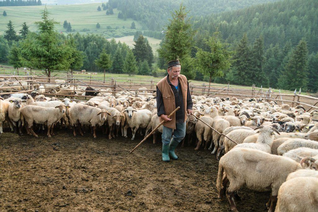 Csobotfalva, 2017. július 10. Csibi János felelõspásztor tereli a juhokat a reggeli fejéshez az erdélyi Csíkszeredához tartozó Csobotfalva közelében 2017. július 6-án. A csíksomlyói juhtartó gazdák áprilisban összegyûjtik az állataikat és azokat pásztorokra bízzák, akik egész nyáron a hegyi legelõkön tartják és gondozzák a juhokat. MTI Fotó: Veres Nándor