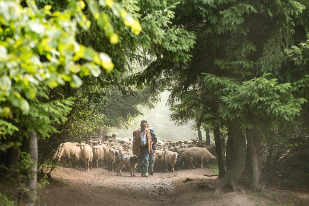 Csobotfalva, 2017. július 10.  Csibi János felelõspásztor és fia, Csibi Gyula vezeti a juhnyájat az erdélyi Csíkszeredához tartozó Csobotfalva közelében 2017. július 7-én. A csíksomlyói juhtartó gazdák áprilisban összegyûjtik az állataikat és azokat pásztorokra bízzák, akik egész nyáron a hegyi legelõkön tartják és gondozzák a juhokat. MTI Fotó: Veres Nándor