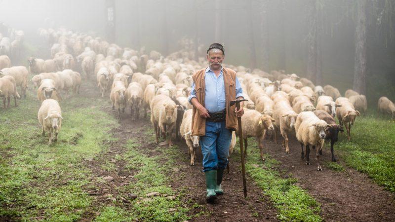 Csobotfalva, 2017. július 10.  Csibi János felelõspásztor vezeti a legelõre a juhokat az erdélyi Csíkszeredához tartozó Csobotfalva közelében 2017. július 7-én. A csíksomlyói juhtartó gazdák áprilisban összegyûjtik az állataikat és azokat pásztorokra bízzák, akik egész nyáron a hegyi legelõkön tartják és gondozzák a juhokat. MTI Fotó: Veres Nándor