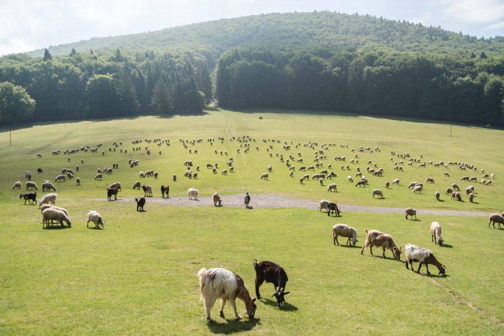 Csobotfalva, 2017. július 10.  A csíksomlyó hegynyeregben legel a juhnyáj az erdélyi Csíkszeredához tartozó Csobotfalva közelében 2017. július 7-én. A csíksomlyói juhtartó gazdák áprilisban összegyûjtik az állataikat és azokat pásztorokra bízzák, akik egész nyáron a hegyi legelõkön tartják és gondozzák a juhokat. MTI Fotó: Veres Nándor