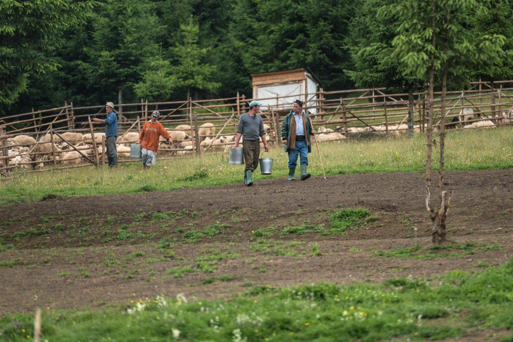 Csobotfalva, 2017. július 10. Pásztorok a fejés után az esztenaházhoz, a hegyi szálláshoz viszik a tejet az erdélyi Csíkszeredához tartozó Csobotfalva közelében 2017. július 6-án. A csíksomlyói juhtartó gazdák áprilisban összegyûjtik az állataikat és azokat pásztorokra bízzák, akik egész nyáron a hegyi legelõkön tartják és gondozzák a juhokat. MTI Fotó: Veres Nándor