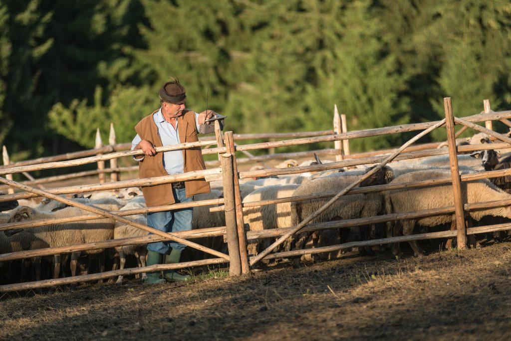 Csobotfalva, 2017. július 10.  Csibi János felelõspásztor a fejõkarámban az esztenán, a hegyi szálláson az erdélyi Csíkszeredához tartozó Csobotfalva közelében 2017. július 6-án. A csíksomlyói juhtartó gazdák áprilisban összegyûjtik az állataikat és azokat pásztorokra bízzák, akik egész nyáron a hegyi legelõkön tartják és gondozzák a juhokat. MTI Fotó: Veres Nándor